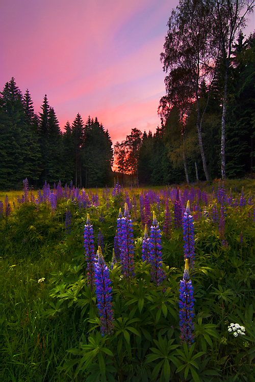 Glowing Lupines
